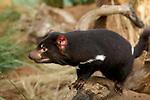 tasmanian devil (sarcophilus harrisii).The Tasmanian devil  is a carnivorous marsupial of the family  now found in the wild only in the Australian island state of Tasmania...Diable de tasmanie