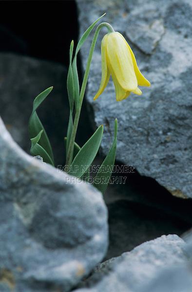 Fritillary, Fritillaria sp.blooming, Samos, Greek Island, Greece, Europe