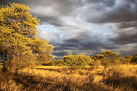 Kalahari landscape with dark sky bathing in golden light