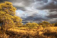 Kalahari landscape with dark sky bathing in golden light