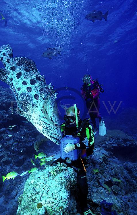 Dive master feeding Potato Cod - Epinephelus tukula, Great Barrier Reef, Queensland, Australia