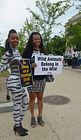 Washington  DC, June 22, 2017, USA: Member of PETA (People for the Ethical Treatment of Animals)one of whom is dressed as a Zebra in body paint to protest a circus coming to the Washington DC area.  Patsy Lynch/MediaPunch