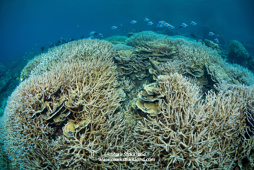 This exquisite hard coral garden is thriving at the base of a lava flow at Barren Island, Andaman Islands, Andaman Sea, India