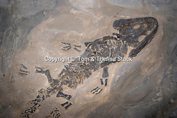 Fossil amphibian, Sclerocephalus hauseri, Permian, Germany