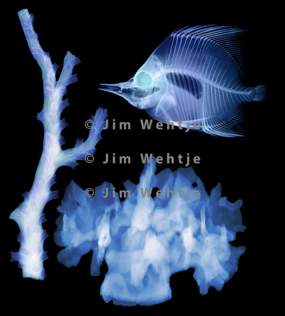 X-ray image of fish and corals (blue on black) by Jim Wehtje, specialist in x-ray art and design images.