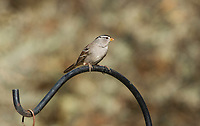 White-crowned Sparrow, Zonotrichia leucophrys, perches on a feeder in Sacramento National Wildlife Refuge, California