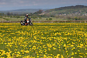 08/05/17<br /> <br /> A motorcyclist makes his way along a track flanked by acres of dandelions in the Derbyshire Peak District near Wirksworth.<br /> <br /> <br /> All Rights Reserved F Stop Press Ltd. (0)1773 550665 www.fstoppress.com