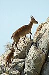 Adult female Spanish Ibex with young calf walking up rock face, Andalucia, Spain.