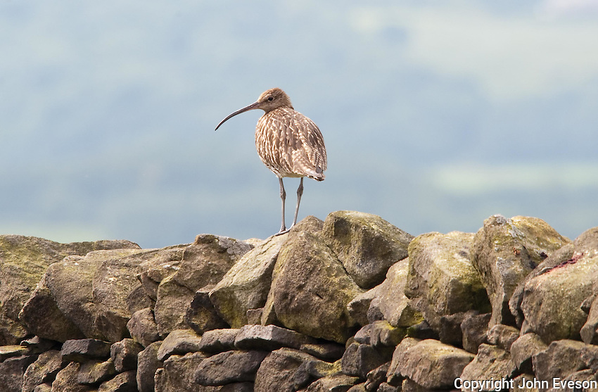 Curlew on a stone wall, Longridge, Lancashire.