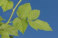 Wilde Himbeere, Blatt, Blätter vor blauem Himmel, Rubus idaeus, Raspberry