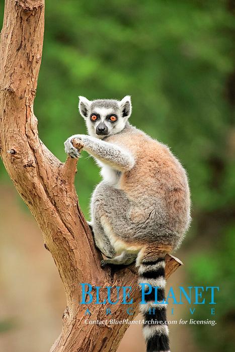Ring-tailed Lemur (Lemur catta), adult in a tree, Madagascar, Africa