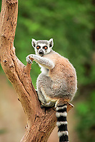 Ring-tailed Lemur (Lemur catta), adult in a tree, Madagascar, Africa