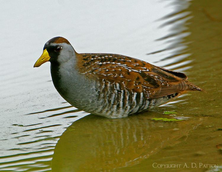 Sora breeding adult in pond at Port Aransas, TX Birding Center
