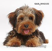 Kim, ANIMALS, REALISTISCHE TIERE, ANIMALES REALISTICOS, fondless, photos,+Yorkipoo dog, Oscar, 6 months old, with tongue out,++++,GBJBWP42183,#a#