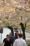 Each spring many visitors to Washington DC enjoy the Japanese cherry trees that line the Tidal basin.