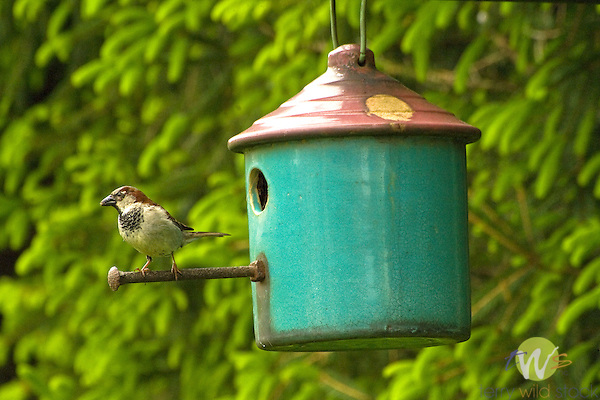 House Sparrow at birdhouse