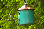 House Sparrow at birdhouse