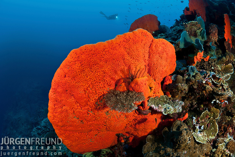 Bright orange sponge in the reef with diver.