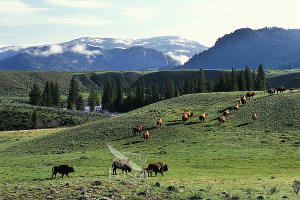 Bison herd, Lamar Valley, Yellowstone National Park, June.