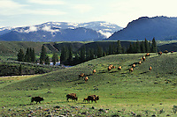 Bison herd, Lamar Valley, Yellowstone National Park, June.