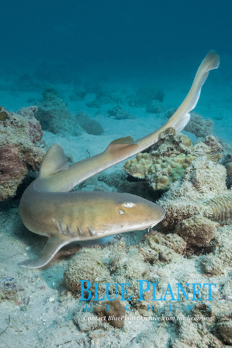 Arabian carpetshark or Arabian bamboo shark, Chiloscyllium arabicum, Abu Dhabi, United Arab Emirates or UAE, Arabian Sea, Indian Ocean