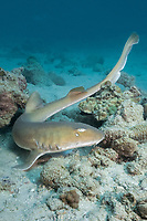 Arabian carpetshark or Arabian bamboo shark, Chiloscyllium arabicum, Abu Dhabi, United Arab Emirates or UAE, Arabian Sea, Indian Ocean