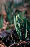 A87DG9 Wild woodland daffodils in bud Suffolk England