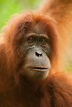 Intimate portrait of a Sumatran orangutan