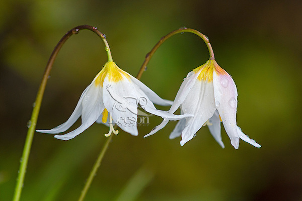 Avalanche Lily or White Avalanche Lily (Erythronium montanum).  Subalpine wildflower.  Pacific Northwest.