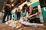 Holden Racing Team drivers Jamie Whincup (R) and Shane van Gisbergen. Holden Supercars Sheep Shearing Contest, Franklin Showgrounds, Pukekohe, New Zealand. Thursday 1 November 2018. Photo: Simon Watts/ Bwmedia