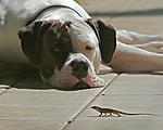 Dog and a lizard eye each other in Hawaii.
