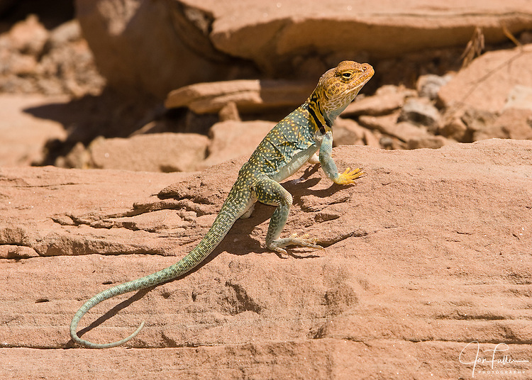 A Collard Lizard near Canyonlands National Park near Moab, Utah, USA basks in the sun.