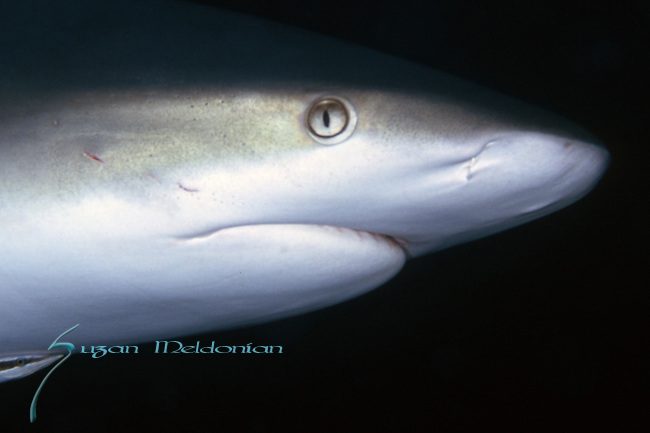 Gray Reef Shark Close Up demonstrates ampullae of Lorenzini