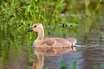 Gosling swimming in northern Wisconsin wetland.