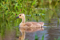 Gosling swimming in northern Wisconsin wetland.