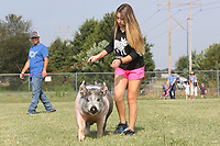 NWA Democrat-Gazette/DAVID GOTTSCHALK   Emily Hays, 14, exercises her crossbred hog Wednesday, August 9, 2017, at the Benton County Fairgrounds in Bentonville. Emily was with her brothers Garrett, 16, and Ty, 12, as they exercised their hogs also. The fair features exhibitions, animal shows, pageant and baby contest and carnival rides and  other attractions.