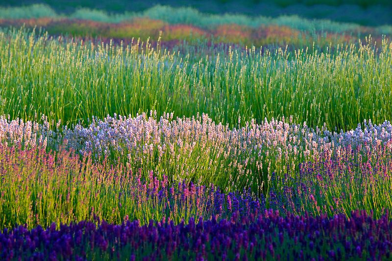 Fields of various lavender plants.  Purple Haze Lavender Farm. Washington