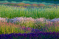 Fields of various lavender plants.  Purple Haze Lavender Farm. Washington