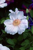 Clematis 'Chantilly' soft pink climbing vine