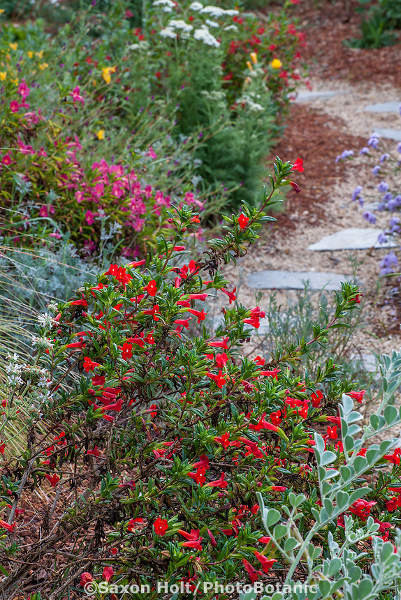 Mimulus, Red flowering Monkey flower, 'Richard's Red' by path, California native plants, Heath-Delaney garden