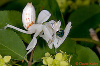 "0610-07pp  Malaysian Orchid Mantis Consuming Prey - Hymenopus coronatus ""Nymph"" - © David Kuhn/Dwight Kuhn Photography"