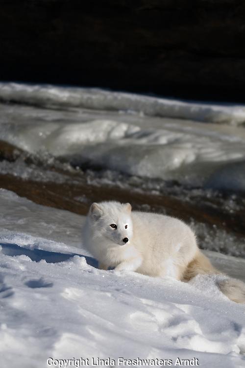 Arctic fox (Alopex lagopus) walking in the snow