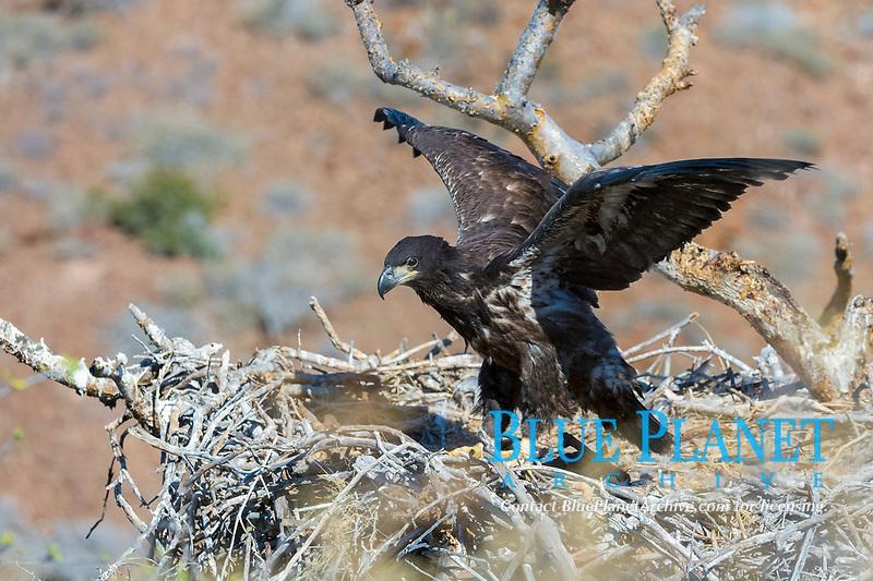 bald eagle, Haliaeetus leucocephalus, fledgling, training its wings, on its nest, Baja California, Mexico