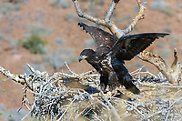 bald eagle, Haliaeetus leucocephalus, fledgling, training its wings, on its nest, Baja California, Mexico