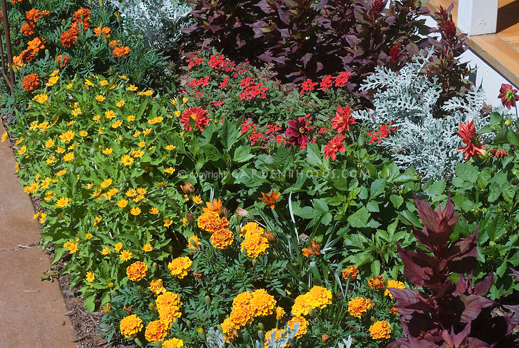 Annual Garden: Marigolds, dahlias, dusty miller