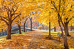 Fall color in the Yoshino Cherry trees on the Charles River Esplanade, Boston, MA, USA