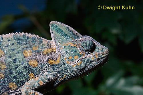 CH51-682z  Female Veiled Chameleon in display color, Chamaeleo calyptratus