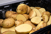 White potatoes peeled and cut in half to check quality in a potato QC