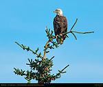 Bald Eagle 4th Year Juvenile, Silver Salmon Creek, Lake Clark National Park, Alaska