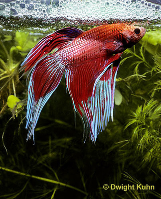 BY03-036z  Siamese Fighting Fish - male making protective bubble nest for eggs - Betta splendens